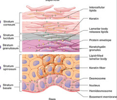 about the integumentary system . - luckey's honors anatomy !, Human Body