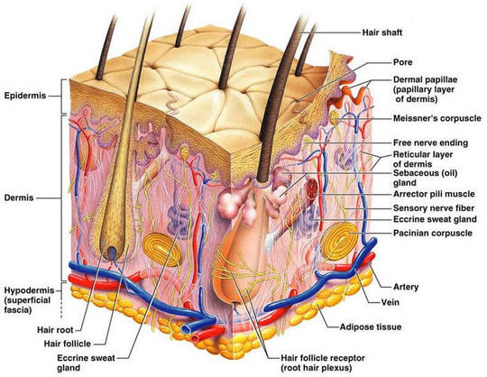 About The Integumentary System .... - Luckey\'s Honors Anatomy !